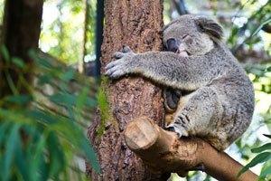 mannen-koala-mannengeheim
